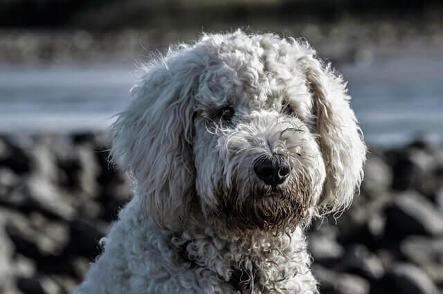 5 fatos divertidos sobre poodles