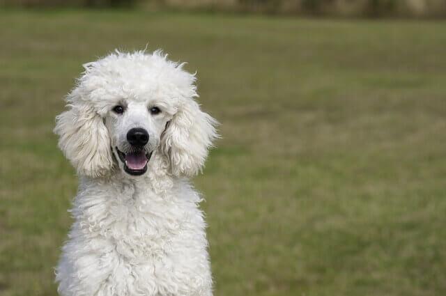 5 raças de cães mais inteligentes escolhidas por profissionais veterinários