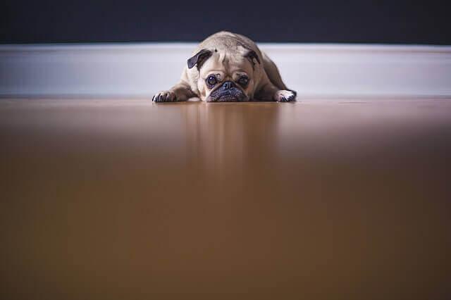 Ajudando o seu cão através do luto e depressão