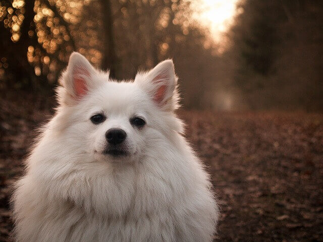 Alopecia Canina: Sintomas, Causas e Tratamento