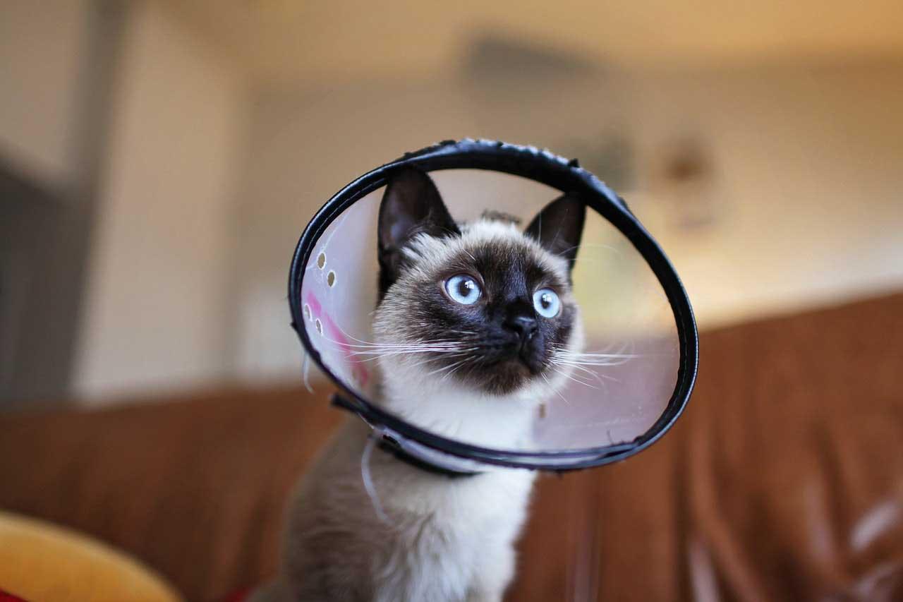 Amiloidose em gatos
