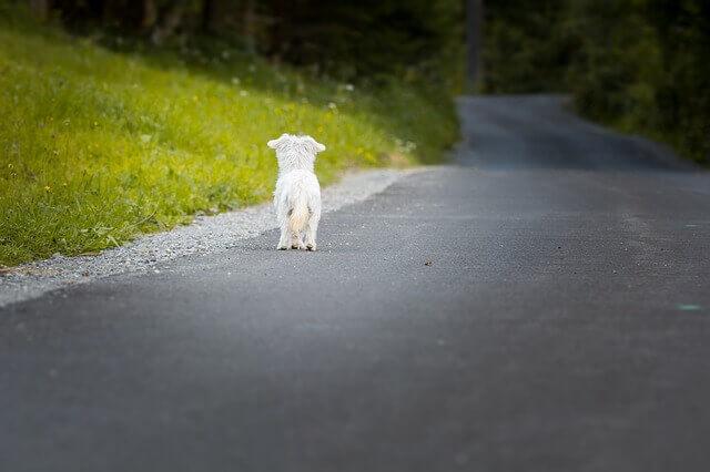 Anaplasmose em cães