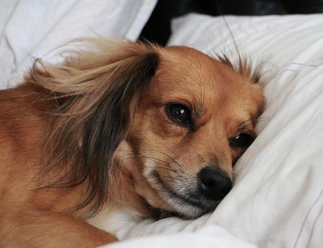 Anemia crônica em cães