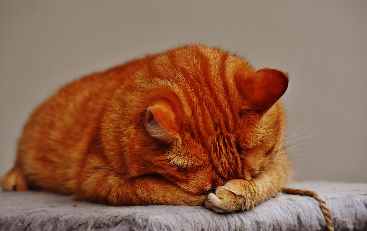 Anemia em gatos | Causas, Sintomas e Tratamento