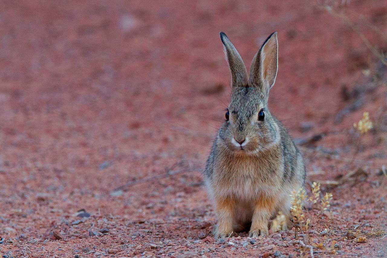 Anormalidade dos dentes incisivos em coelhos