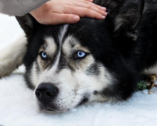 Anormalidade do eixo uretral em cães
