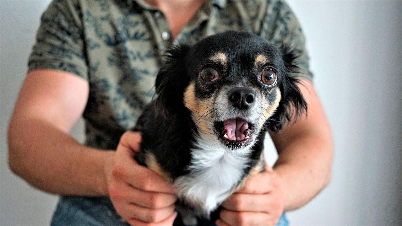 Ansiedade de separação no Chihuahua
