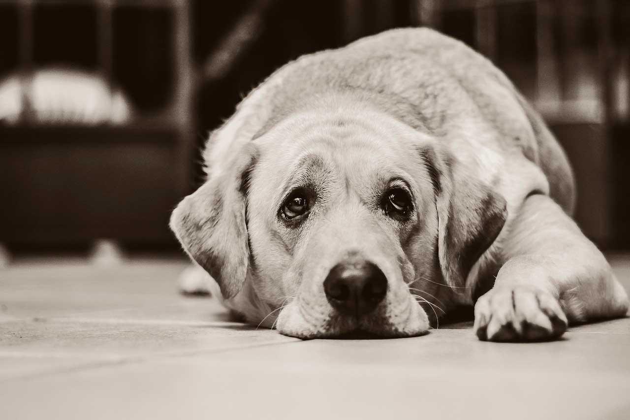 Ansiedade em Labrador Retrievers