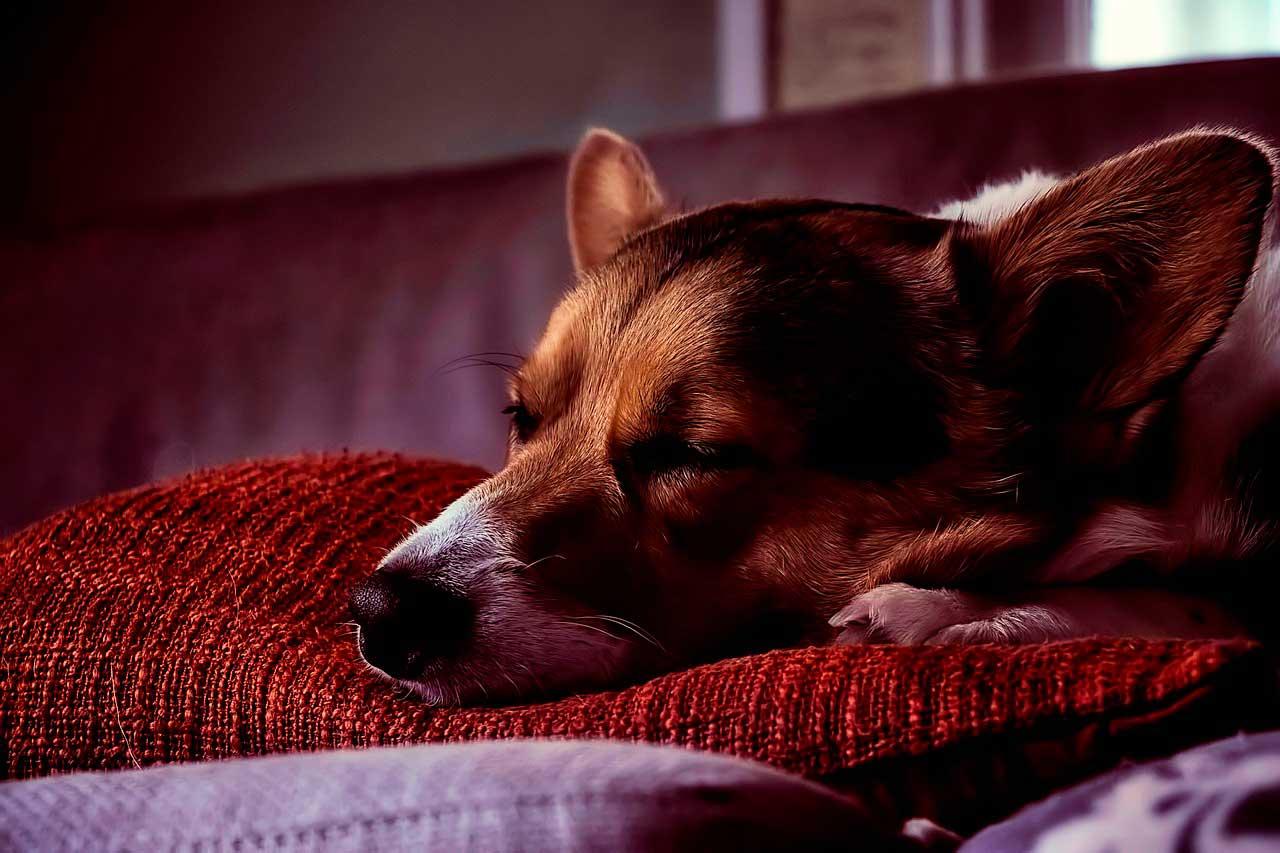 Ansiedade Noturna em Cães