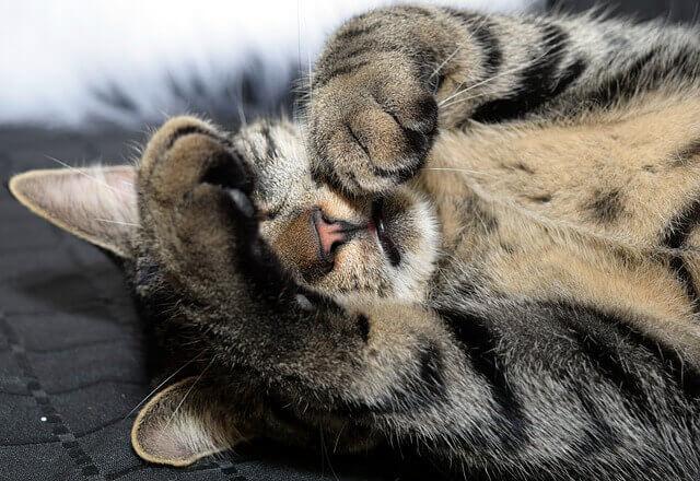 Artrite nas patas do gato