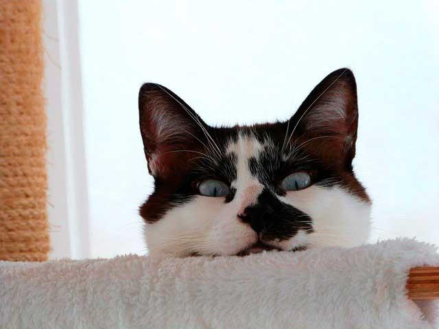 Asma e bronquite em gatos
