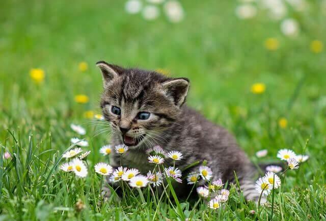 Asma em gatos