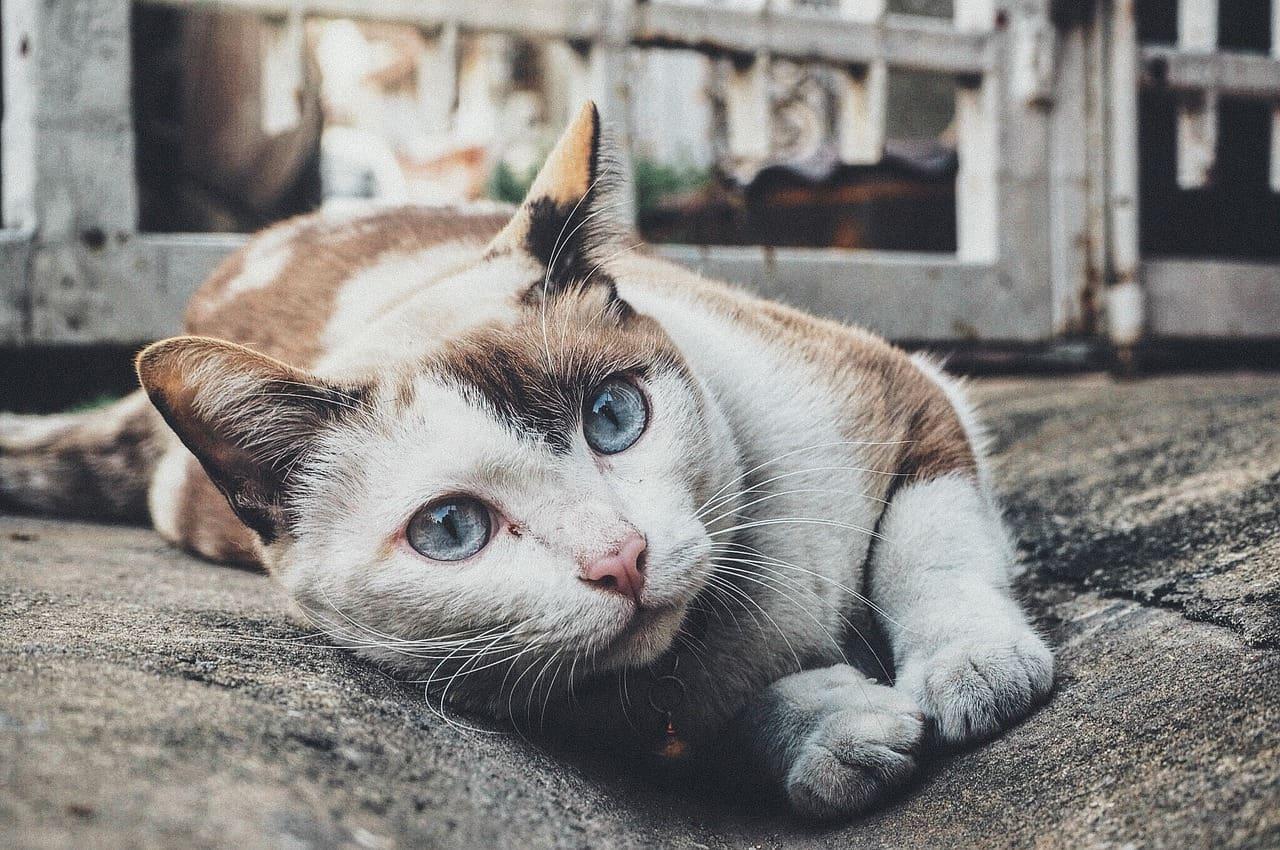 Sintomas de asma em gatos