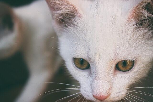 Ataque do Coração nos Gatos