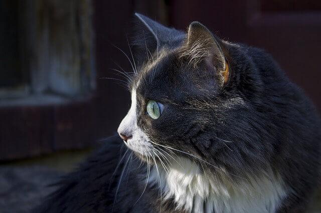 Azotemia e Uremia em gatos (Níveis altos de nitrogênio no sangue em gatos)