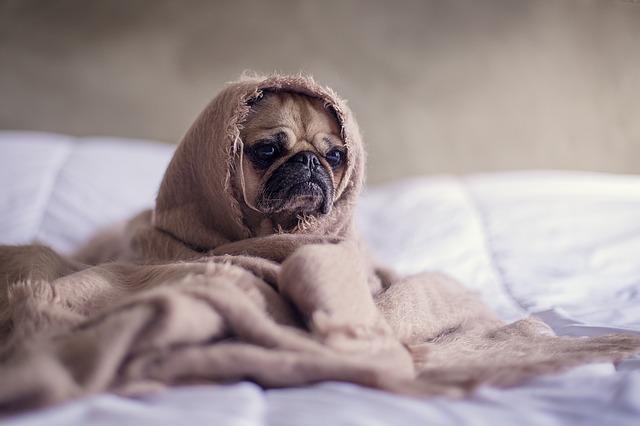 Baixa temperatura corporal em cães
