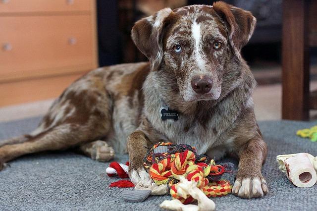 Baixo teor de oxigênio no sangue em cães