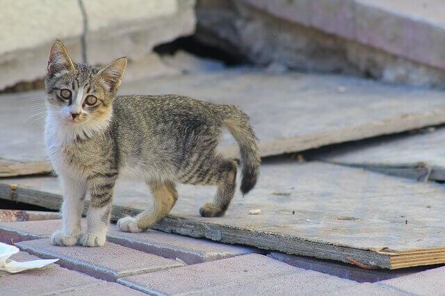 Blastomicose em gatos