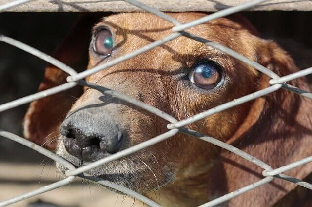 Bordetella em cães | sintomas e tratamento para a tosse do canil