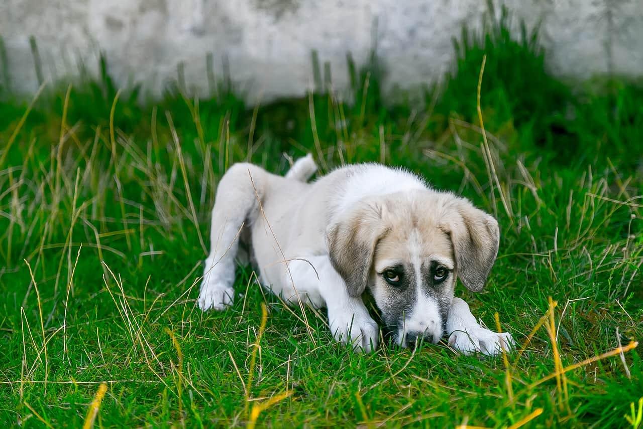 Brucelose em cães | Causas, Sintomas e Tratamento