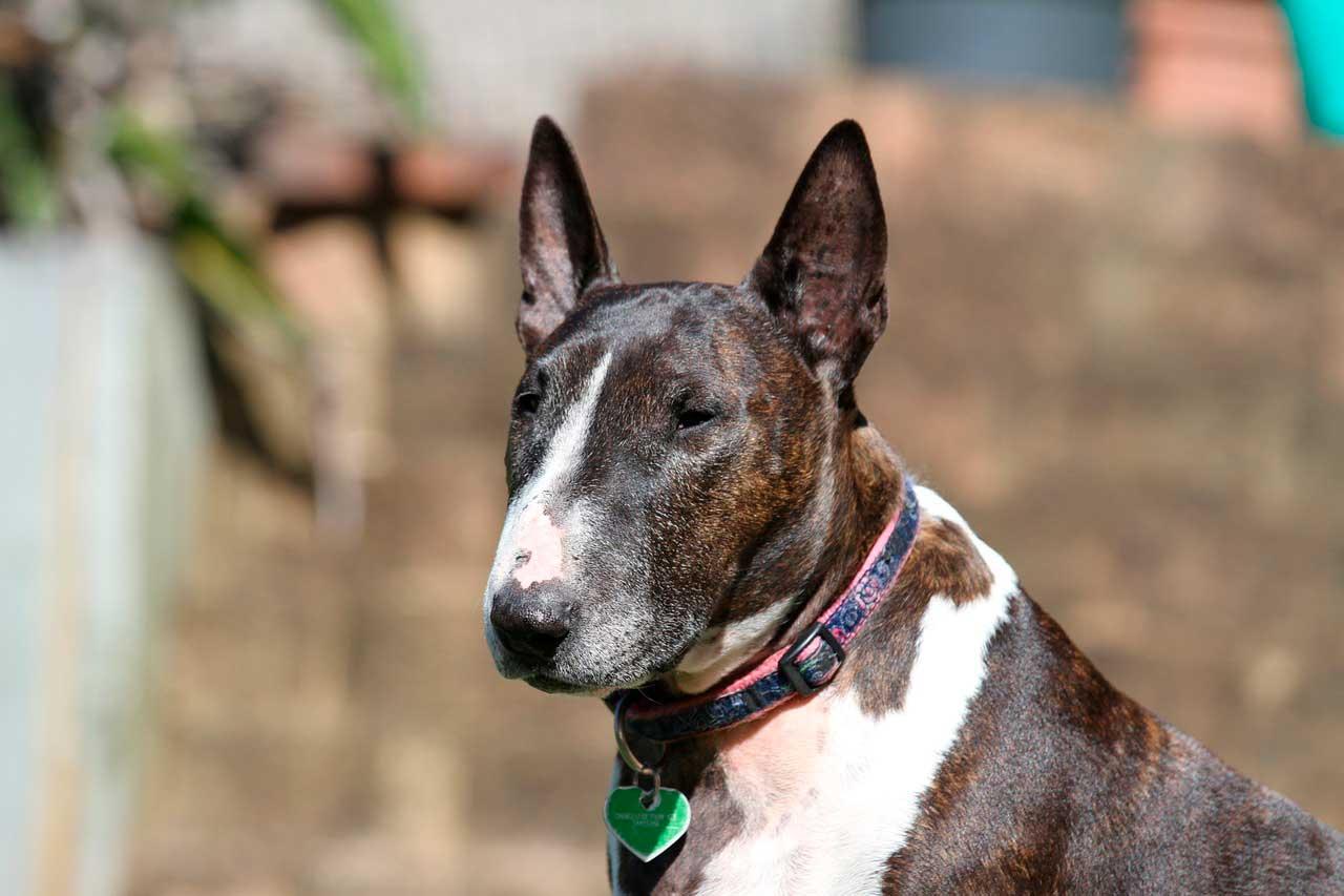 Bull terrier | Doença Cardíaca