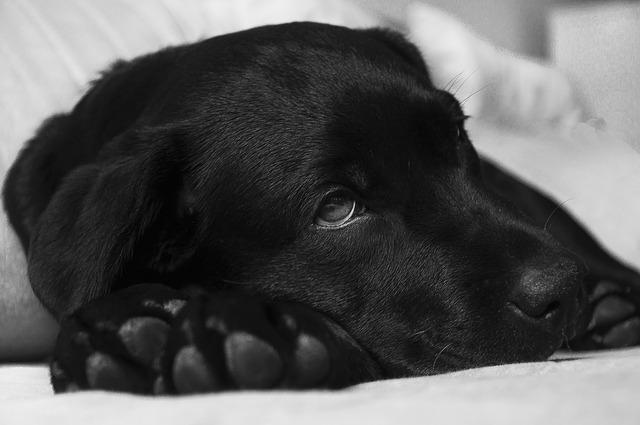 Cachorro pode ter dor de cabeça