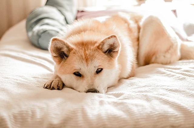 Por que os cães choramingam e como lidar com isso