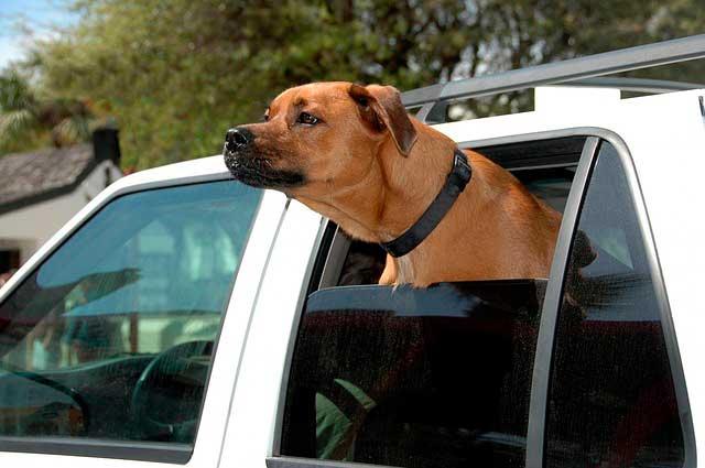 Cães e medo de andar em carros