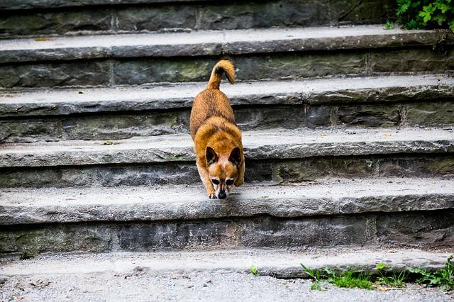 Cães e medo de escadas