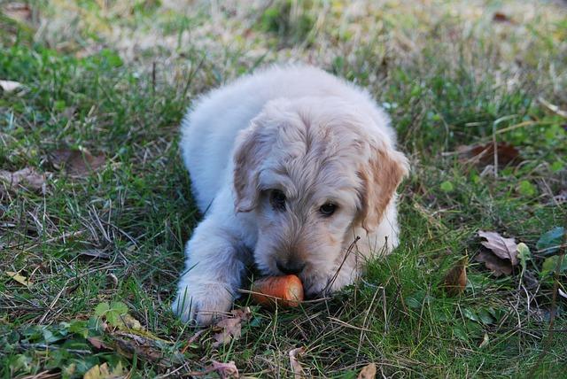 Cães podem se adaptar a um lar vegano
