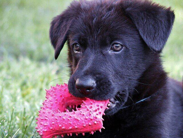Câncer Carcinoide em Cães
