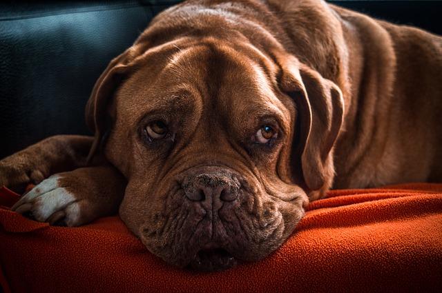 Câncer em cães idosos - sinais e sintomas a serem observados