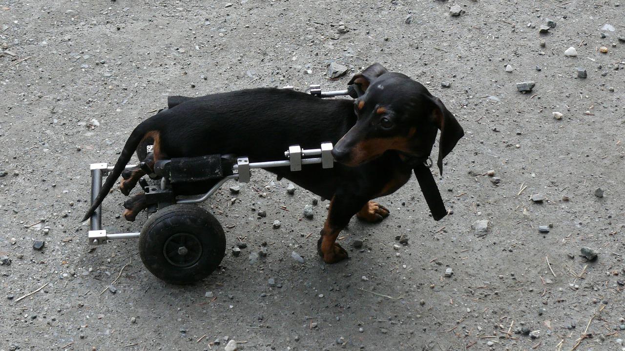 Cão paralisado | Como cuidar e ajudar