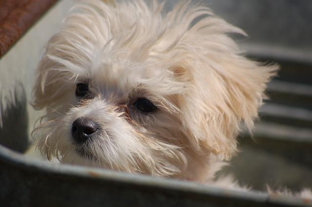 Por que meu cão tem manchas de lágrima?