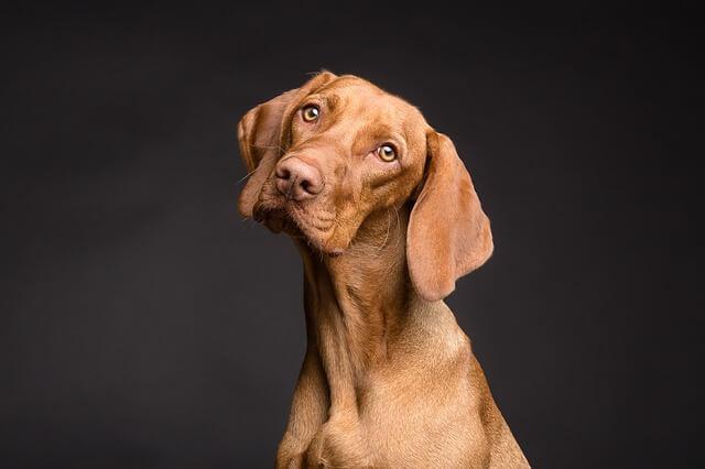 Carcinoma Celular Transicional do Trato Urinário em Cães