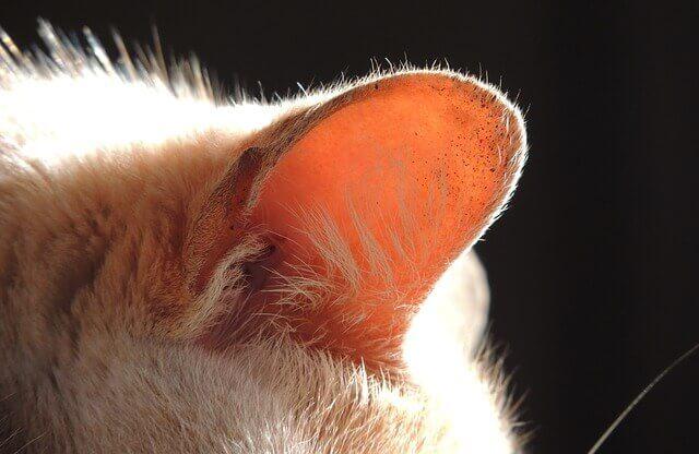 Carcinoma de Células Escamosas Auriculares em Gatos