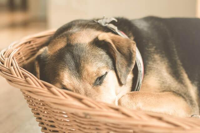 Carcinoma Pulmonar Metastático em cães