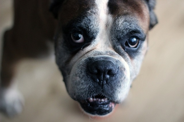 Cardiomiopatia em cães Boxer