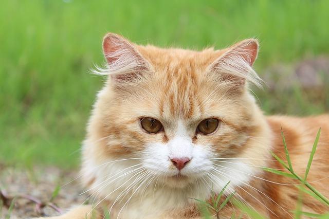 Doença Cardíaca | Cardiomiopatia em Gatos