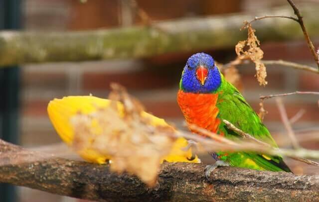 Caspa em aves