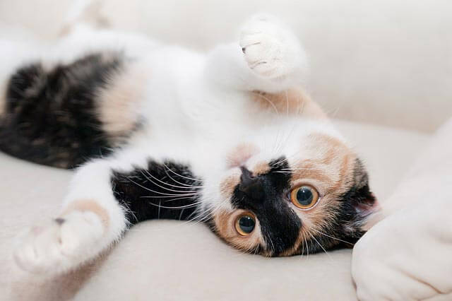 Celulite e abscessos em gatos - Sintomas, Tipos e Tratamentos