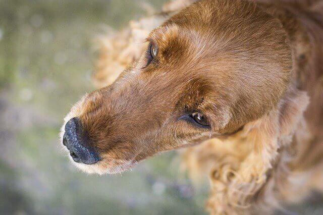 Ceratoconjuntivite em cães: inflamação dos olhos
