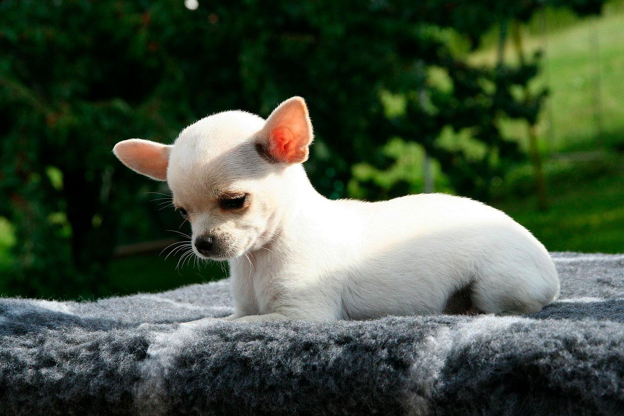 Chihuahua mancando | Causas, Sintomas e Tratar