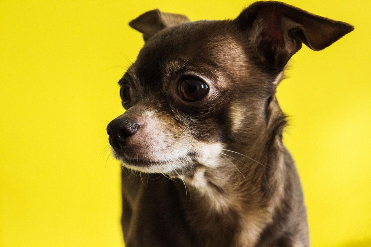 Chihuahua | Principais Problemas de Saúde