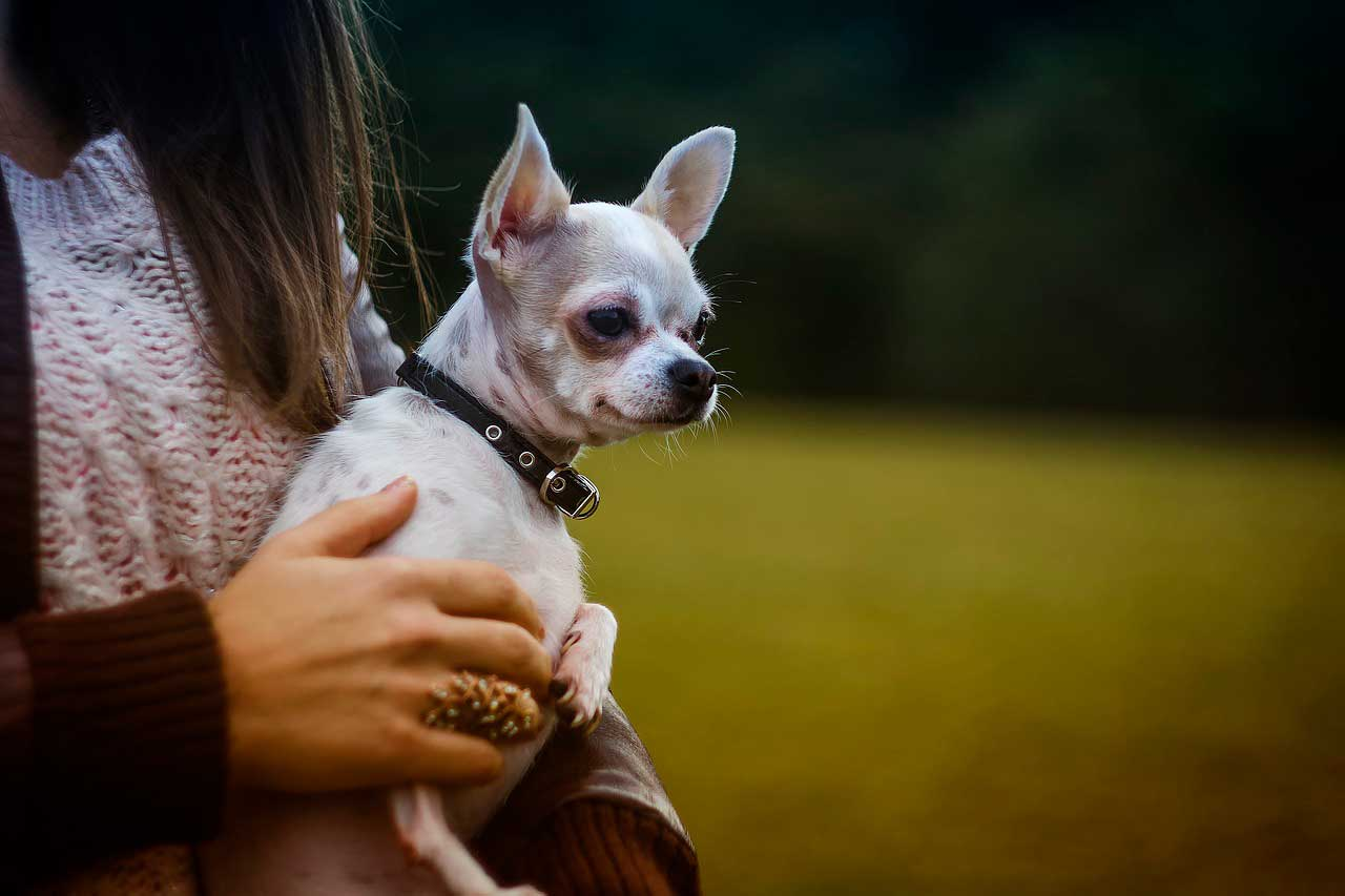 Chihuahua | Problemas de saúde