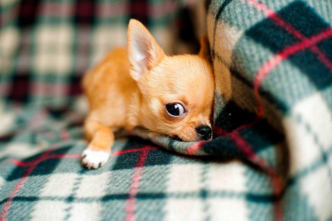 Chihuahua | Síndrome Nervosa e Como Acalmar