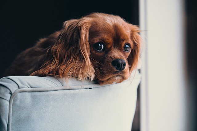Choramingar | Problemas de Comportamento do Cão