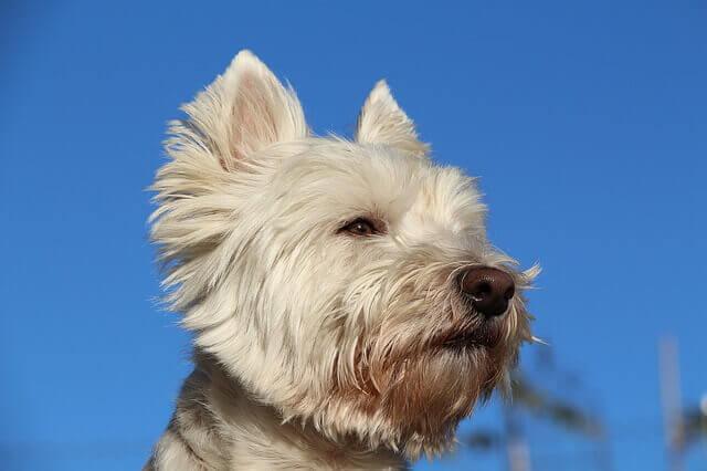 Cinco cães hipoalergênicos | Melhores cães para alergias