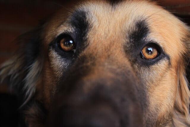5 óleos essenciais para cães com alergias
