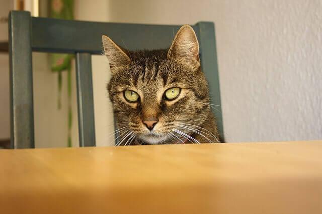 Cirrose e fibrose do fígado em gatos